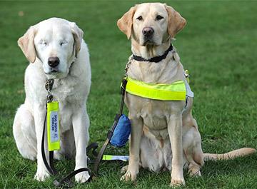 Cô chó dẫn đường cho chú chó mù