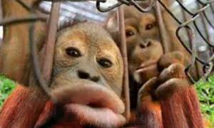 Những con khỉ vui tính
