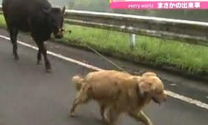 Chó 'dắt' bò ra đồng gặm cỏ