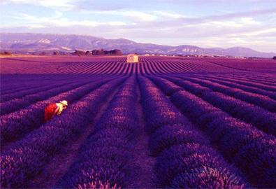Đến Provence ngắm những cánh đồng oải hương tím ngắt