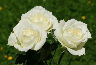 Bài học từ hoa hồng trắng