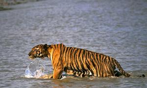 Hổ đói nhảy lên thuyền, tha phụ nữ vào rừng