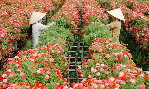 5 làng hoa đẹp ngất ngây ở miền Tây dịp Tết