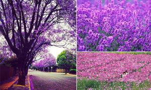 Những thiên đường hoa tím đẹp ngất ngây trên thế giới