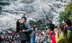 Giới trẻ Trung Quốc 'bấn loạn' trước vẻ đẹp hoa anh đào