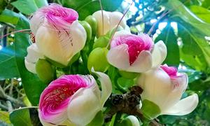 Vẻ đẹp kiêu sa của hoa bàng vuông trên đảo Lý Sơn
