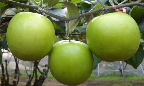 Những tác dụng tốt đến khó tin của táo ta