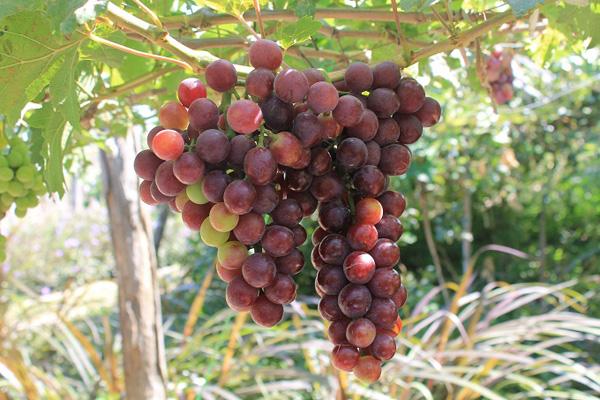 Những trái nho chín mọng cho ra đời những sản phậm rượu vang nho thơm nồng.