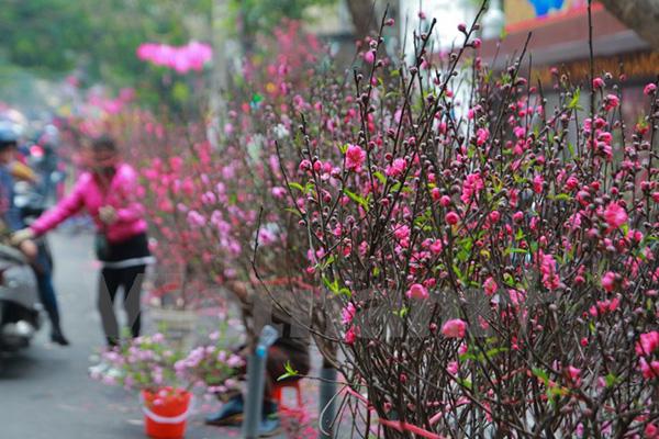 Hoa đào xuống phố.