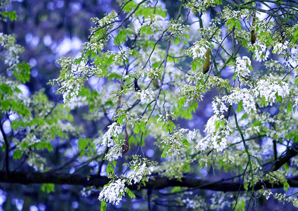 Tháng 3 Hà Nội trắng muốt mùa hoa sữa.