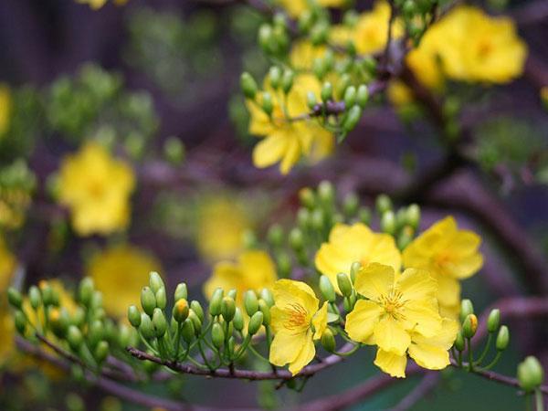 Mai vàng Phước Định - nơi dành cho các tín đồ yêu hoa mai vào dịp Tết.