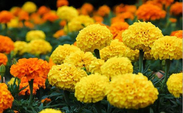 Làng hoa Thới Nhựt có tuổi đời trên 100 năm phát triển.