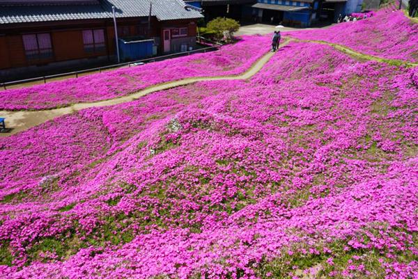 Tại thị trấn Shintomi, tỉnh Miyazaki, Nhật Bản, có một vườn hoa chi anh tuyệt đẹp, thường nở vào mùa xuân, thu hút  rất nhiều khách du lịch ghé thăm. Tuy nhiên, điều đặc biệt là vườn hoa này thực chất thuộc sở hữu cá nhân, và nguyên nhân khiến cứ từ cuối tháng 3 đến tháng 4 hàng năm, mỗi ngày có tới 7.000 người tới đây, không chỉ bởi những khóm hoa đẹp. Câu chuyện tình yêu cảm động đằng sau đó khiến người ta bị chú ý hơn cả.