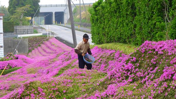 Ông Kuroki hằng ngày chăm sóc cho vườn hoa xinh đẹp.
