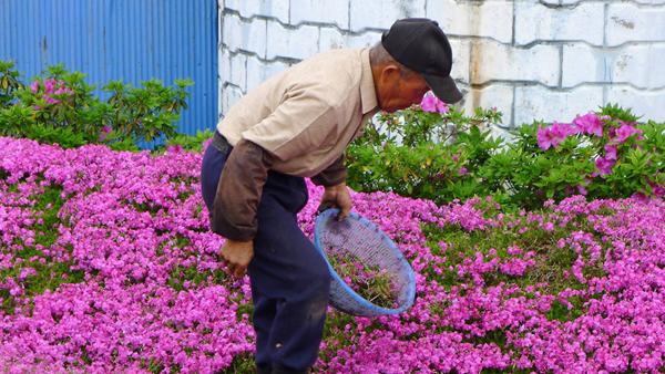 Sau hơn 10 năm kể từ khi hạt giống đầu tiên được trồng xuống đất, hiện khu vườn xinh đẹp thu hút du khách từ các thị trấn và tỉnh khác tới thăm  vào mỗi dịp xuân đến.
