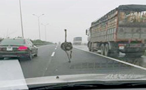 Con đà điểu chạy trên cao tốc Cầu Giẽ - Ninh Bình. Ảnh: Otofun.