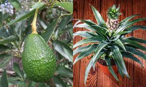 8 cây ăn quả trồng trong nhà khi không có đất vườn