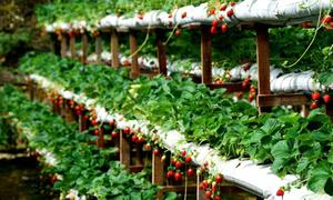 7 vườn dâu được 'check-in ầm ầm' ở Đà Lạt