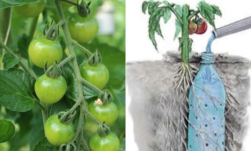 Mẹo tưới nước nhỏ giọt cứu nguy cho cây trồng mùa hè