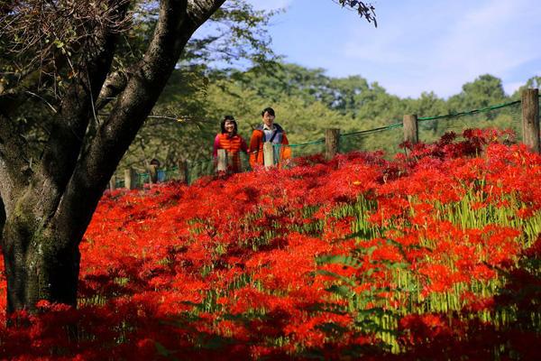Những ngày tháng 10 này, du khách cũng tìm đến với vườn hoa bỉ ngạn đỏ rực ở công viên Kinchakuda, thành phố Hidaka của Nhật. Giữa nùi rừng xanh ngắt là một biển hoa bỉ ngạn giống như một tấm thảm khổng lồ.