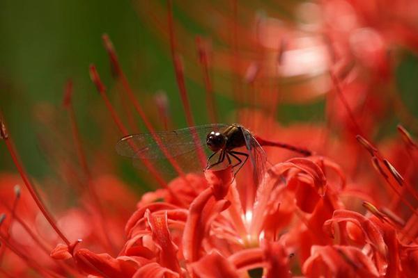 Trước đây, dọc theo các cánh đồng lúa ở Nhật Bản người ta thường trồng hoa bỉ ngạn để tránh cho chuột và những con động vật gặm nhấm khác đến phá hủy mùa màng. Bởi vì loài hoa này có độc hại đối với loài động vật gặm nhấm.