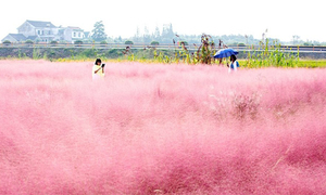 Cánh đồng cỏ hồng bồng bềnh như mây ở Trung Quốc