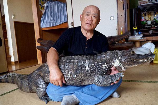 Ông Nobumitsu Murabayashi, 65 tuổi, mua Caiman, tên con cá sấu mà ông đang sống cùng như vật cưng trong nhà, tại một lễ hội dành cho động vật cách đây 34 năm khi nó còn rất bé. Hiện tại con vật dài 2m, nặng 45kg.
