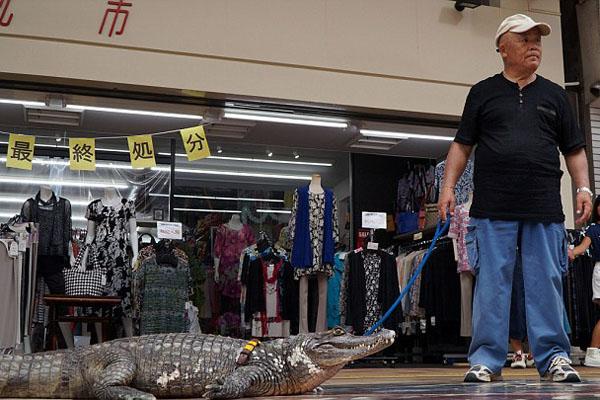 Ông Murabayashi thường xuyên dắt cá sấu Caiman đi dạo trong thành phố. Mỗi lần họ xuất hiện đều thu hút sự chú ý, hiếu kỳ của người qua đường.