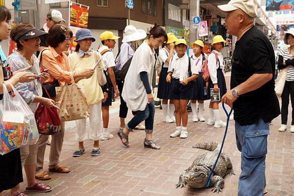 Chính quyền thành phố Pure, tỉnh Hiroshima, nơi ông Murabayashi đang sống, cũng đã cấp phép, cho ông được giữ Caiman như thú cưng trong nhà.