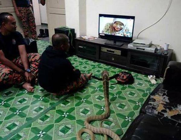 Theo Mirror, hiện chàng trai lúc nào cũng quấn quít bên con rắn hổ. Giáo lý Đạo Phật tin rằng con người khi đã chết đi có thể được chuyển kiếp bằng cách đầu thai thành động vật.