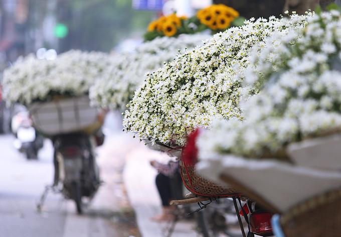 Cúc hoạ mi tràn ngập phố phường Hà Nội