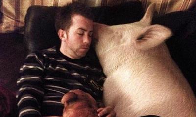 Lợn gần 300 kg ngủ cùng giường với chủ