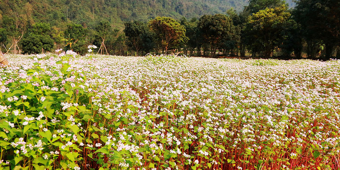 Cánh đồng hoa tam giác mạch bung nở giữa tháng giêng ở Ninh Bình