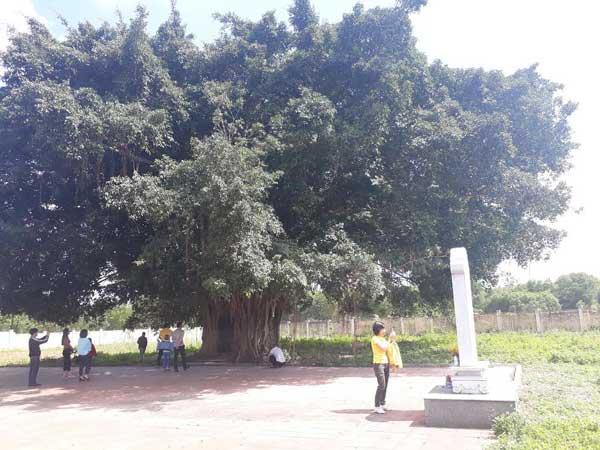 Tán cây rộng hơn 100 m2, tỏa bóng mát tạo nét cổ kính, linh thiêng.