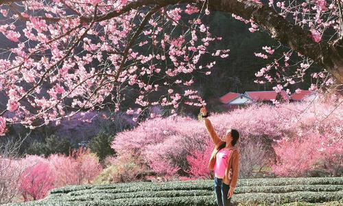 Mùa hoa anh đào đẹp rực rỡ ở Đài Loan