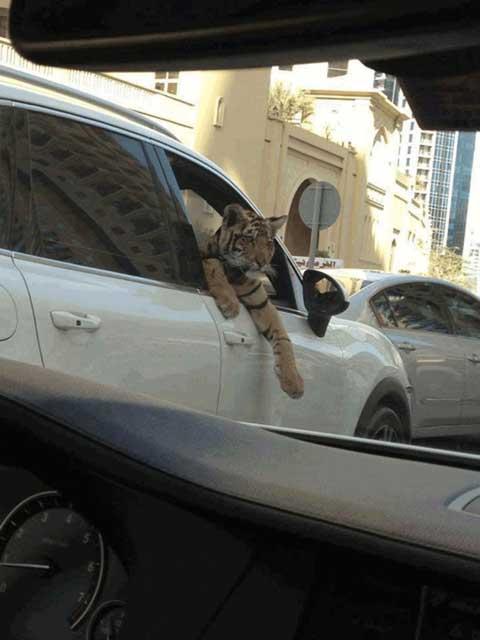 Hổ cũng vậy, bạn có thể gặp nhan nhản chúng trên đường mà chẳng cần phải vào vườn thú.
