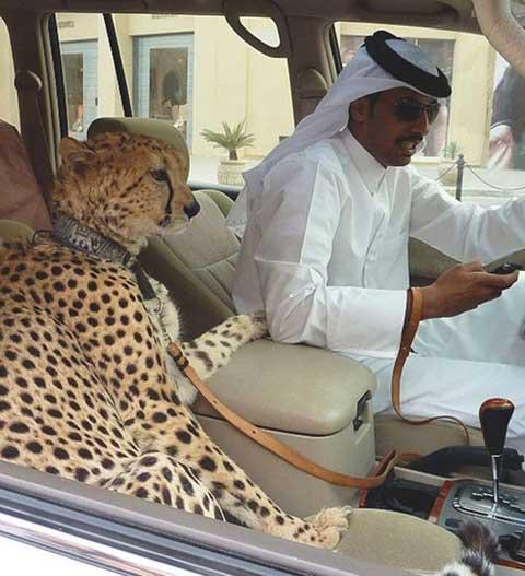 Thay vì nuôi chó mèo làm thú cưng thì báo đốm mới là con vật được giới nhà giàu ở Dubai chuộng nhất.