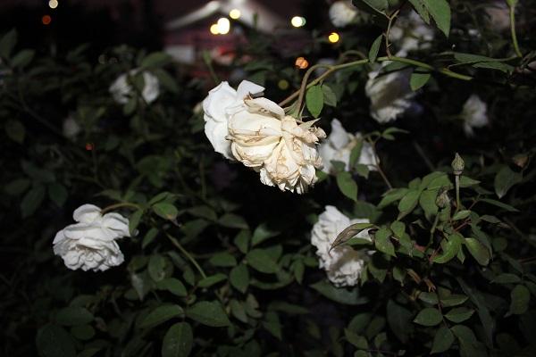 Khá nhiều cây hoa có tình trạng héo rũ, dập nát.