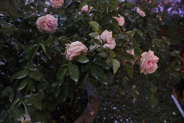 Nhiều khu vực trưng bày không có biển ghi tên, tuổi, xuất xứ của cây hoa khiến trải nghiệm của du  khách chưa được trọn vẹn.