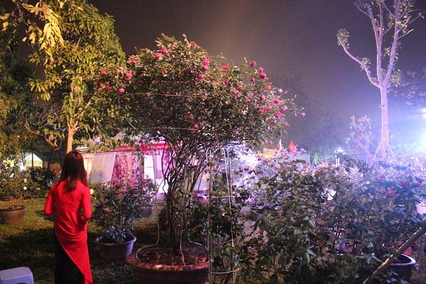 Ngoài các giống hoa hồng ngoại nhập, lễ hội cũng trưng bày nhiều gốc hồng cổ Sapa có tuổi thọ vài  chục năm.