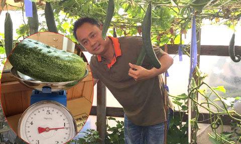 Ông bố Việt ở Australia trồng dưa leo nặng hơn một kg mỗi quả