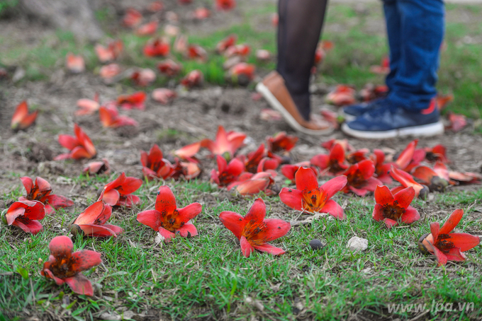 Hoa gạo đỏ thắp sáng tháng 3 mưa dầm