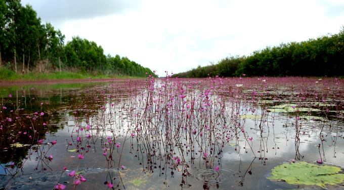 Hoa nhĩ cán nhuộm tím dòng kênh Đồng Tháp