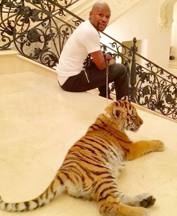 Mayweather từng bị PETA phê phán vì khoe ảnh món quà là chú hổ dòng hiếm của Ấn Độ.