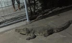 Cá sấu 'đi dạo' giữa đêm ở Đồng Nai