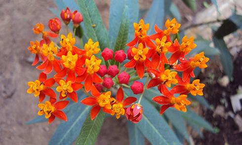 8 loại cây hoa độc chết người bị Bộ Y tế khuyến cáo không nên trồng