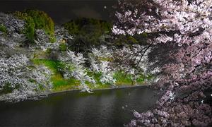 Vẻ đẹp bí ẩn của công viên hoa anh đào trong đêm