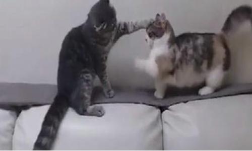 Video mèo chân ngắn bị bắt nạt hút 8 triệu lượt xem