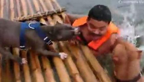 2 chú chó pitbull hợp lực cứu chủ giả chết đuối