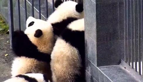 Đàn gấu trúc rủ nhau vượt rào, cố trốn thoát khỏi vườn thú